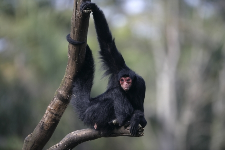 Red-faced spider monkey, Ateles paniscus, single mammal on branch,  Brazil