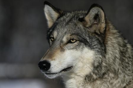 Grey wolf, Canis lupus, single mammal head shot, captive,