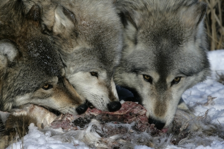 canis lupus: Grey wolf, Canis lupus, group feeding on carcass, captive,