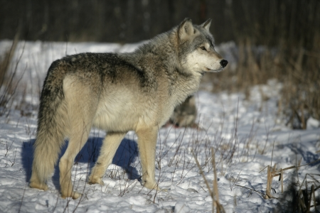 canis lupus: Grey wolf, Canis lupus, single mammal on snow, captive,