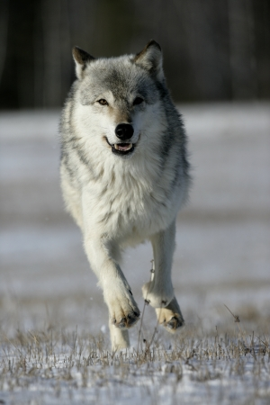 canis lupus: Grey wolf, Canis lupus, single mammal running on snow, captive,          Stock Photo