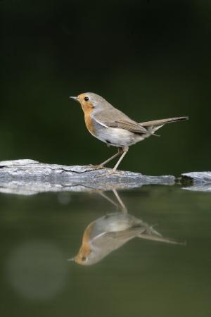 erithacus: Robin, Erithacus rubecula, single bird at water, Hungary