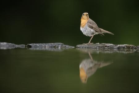 rubecula: Robin, Erithacus rubecula, single bird at water, Hungary