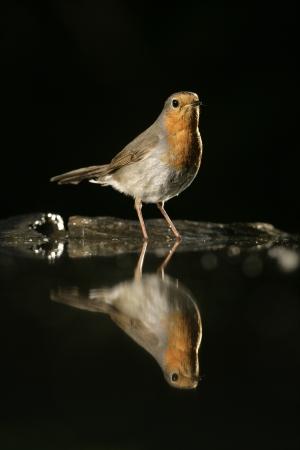 erithacus rubecula: Robin, Erithacus rubecula, single bird at water, Hungary
