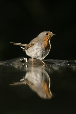 erithacus: Robin, Erithacus rubecula, single bird at water, Hungary