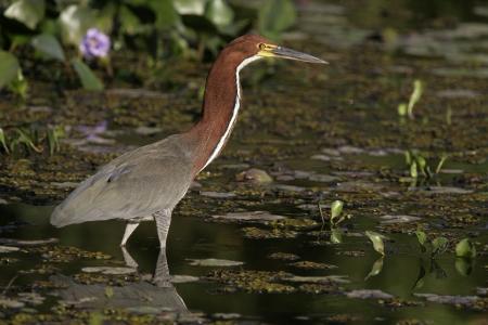 lineatum: Rufescent tiger-heron, Tigrisoma lineatum,  single bird in water, Brazil