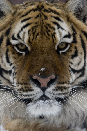 Siberian tiger, Panthera tigris altaica, single cat head shot, captive photo