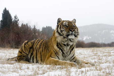 Siberian tiger, Panthera tigris altaica, single cat in snow, captive Archivio Fotografico