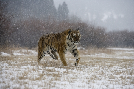 Siberian tiger, Panthera tigris altaica, single cat in snow, captive photo