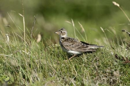 Skylark, Alauda arvensis, single bird on grass, Hebrides, Scotland Stock Photo