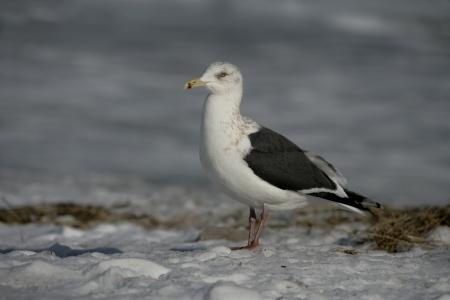 larus: Slaty-backed gull, Larus schistisagus, single bird on snow, Japan Stock Photo