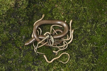 slow worm: Slow worm, Anguis fragilis, adult with young, UK