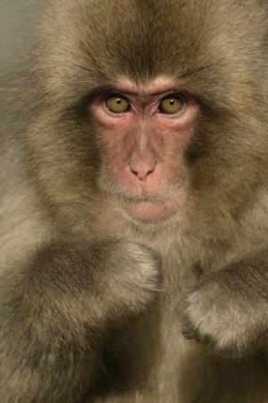 Snow monkey or Japanese macaque, Macaca fuscata, single monkey on snow, Japan