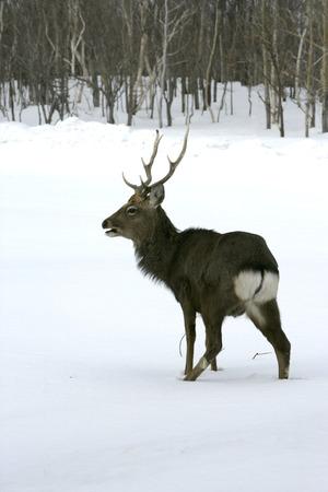 nippon: Sika deer, Cervus nippon, single male on snow,  Dorset