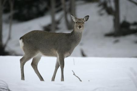cervus: Sika deer, Cervus nippon, single female on snow,  Dorset
