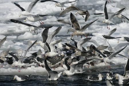 slaty: Slaty-backed gull, Larus schistisagus, group by water, Japan Stock Photo