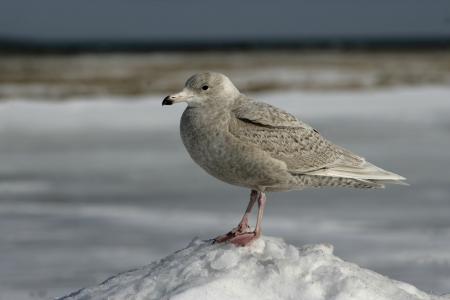 slaty: Slaty-backed gull, Larus schistisagus, single immature bird on snow, Japan
