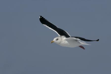 slaty: Slaty-backed gull, Larus schistisagus, single bird in flight, Japan
