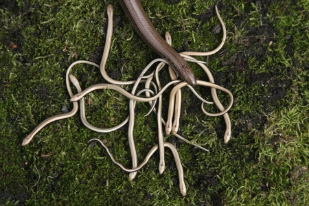 Slow worm, Anguis fragilis, adult with young, UK                photo