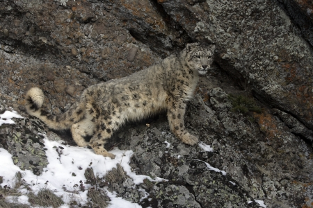 snow leopard: Snow leopard, Uncia uncia, single cat on rocks, captive