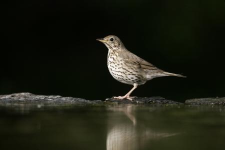 turdus: Song thrush, Turdus philomelos, single bird at water, Hungary
