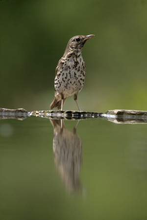 turdus: Song thrush, Turdus philomelos, single bird at water, Hungary