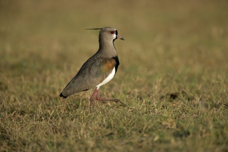 wader: Southern lapwing,  Vanellus chilensis, single bird on ground, Brazil Stock Photo