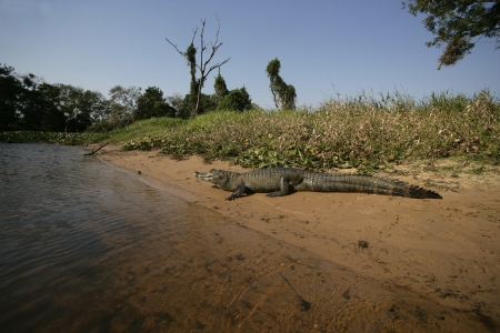 spectacled: Spectacled caiman, Caiman crocodilus, single animal by water, Brazil