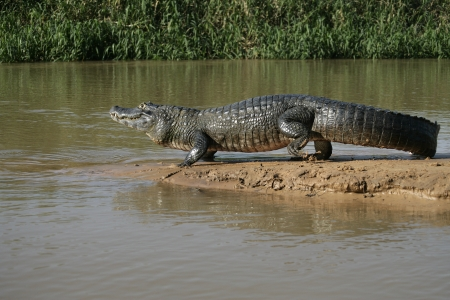 caiman: Spectacled caiman, Caiman crocodilus, single animal by water, Brazil