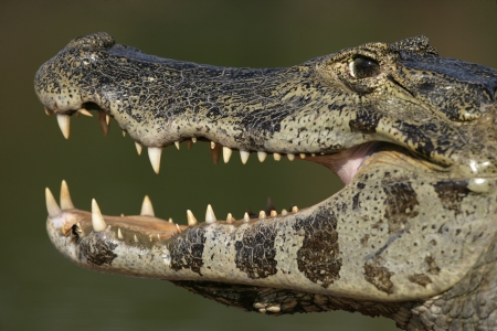 caiman: Spectacled caiman, Caiman crocodilus, single animal head shot, Brazil