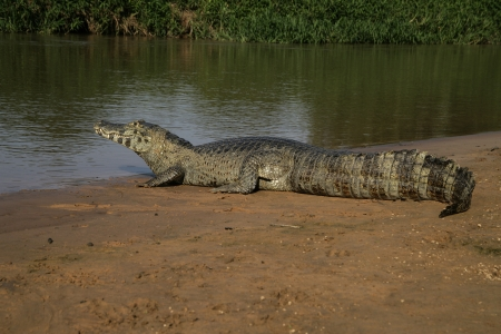 Spectacled caiman, Caiman crocodilus, single animal by water, Brazil