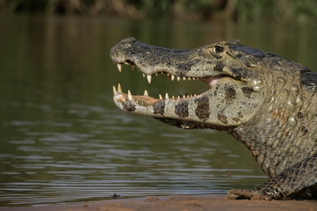 spectacled: Spectacled caiman, Caiman crocodilus, single animal head shot, Brazil