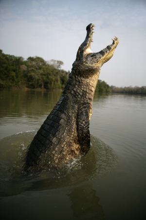 caiman: Spectacled caiman, Caiman crocodilus, single animal leaping out of water, Brazil