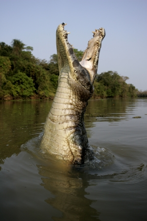 spectacled: Spectacled caiman, Caiman crocodilus, single animal leaping out of water, Brazil