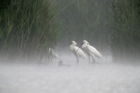 Spoonbill, Platalea leucorodia,  three bird in heavy rain, Hungary