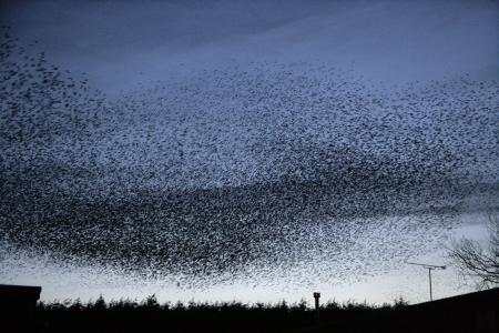 roost: Starling, Sturnus vulgaris, roost in Staffordshire, UK