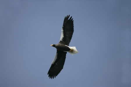 Stellers sea-eagle, Haliaeetus pelagicus, single bird in flight, Japan photo