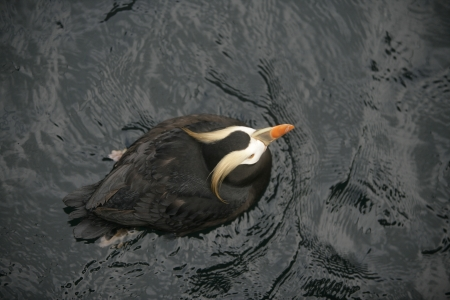 tufted puffin: Tufted puffin, Fratercula cirrhata, single bird on water from above,            Stock Photo