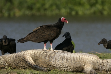 Turkey vulture, Cathartes aura, with black vultues on carcass of caiman, Brazi Stock Photo - 23531301