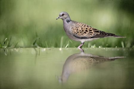 turtle dove: Turtle dove, Streptopelia turtur, single bird at water, Hungary