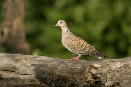 Turtle dove, Streptopelia turtur, single bird on branch, Hungary Stock Photo