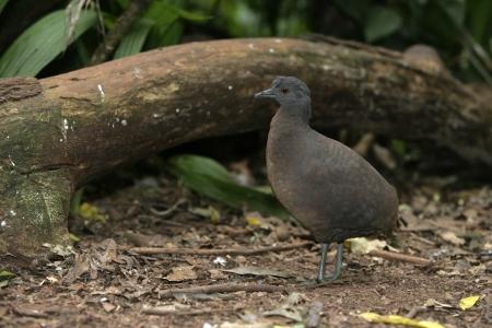 undulatus: Undulated tinamou, Crypturellus undulatus, single bird on ground, Brazil