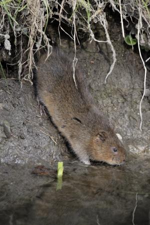 vole: Water vole,  Arvicola terrestris, on bank, Debyshire,