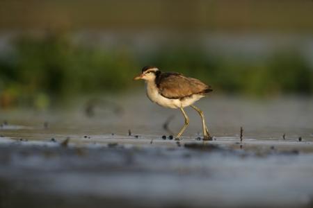jacana: Wattled jacana, Jacana jacana, single bird in water, Brazil