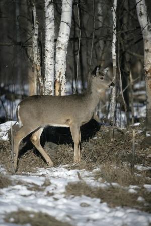 virginianus: White-tailed deer, Odocoileus virginianus, single mammal in snowy woodland, USA