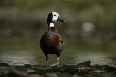 anas: White-cheeked pintail, Anas bahamensis, single bird on water, Brazil