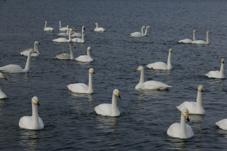 Whooper swan, Cygnus cygnus, group of birds on water, Japan photo