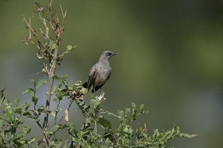 ashy: Ashy starling, Cosmopsarus unicolor, single bird on branch, Tanzania