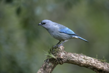 shouldered: Azure-shouldered tanager, Thraupis cyanoptera, single bird on branch, Brazil