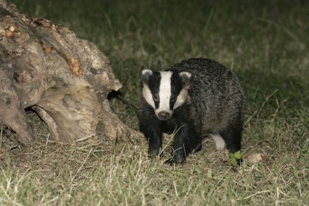 Badger,  Meles meles, single mammal on floor, UK Stock Photo